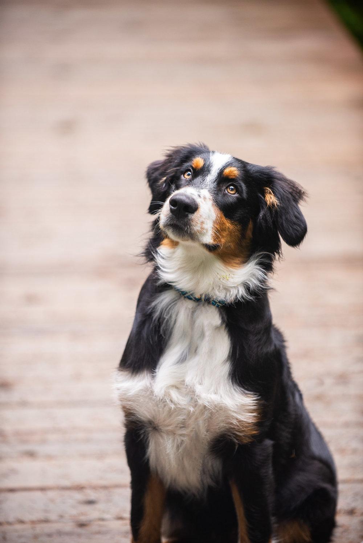 Meredith Berg Photography Anchorage Alaska Dog Pet Photographer Auggie Hernandez MBP-39-Edit.jpg