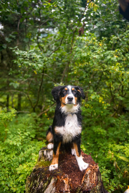 Meredith Berg Photography Anchorage Alaska Dog Pet Photographer Auggie Hernandez MBP-143-Edit.jpg