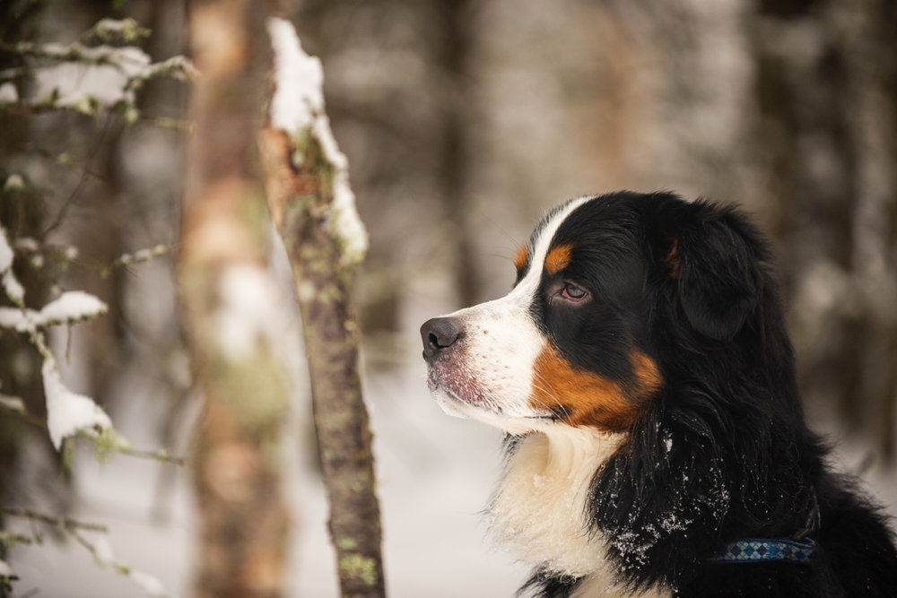 Meredith Berg Photography Anchorage Alaska Dog Pet Photographer Yukon Gethan-476-Edit.jpg