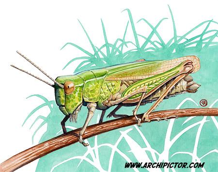 Heinäsirkka / Grasshopper, Leipä leveämmäksi 2011