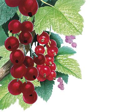 Puutarhamarjoja - Punaherukka; kuvittaja / illustrator Ossi Hiekkala 2012