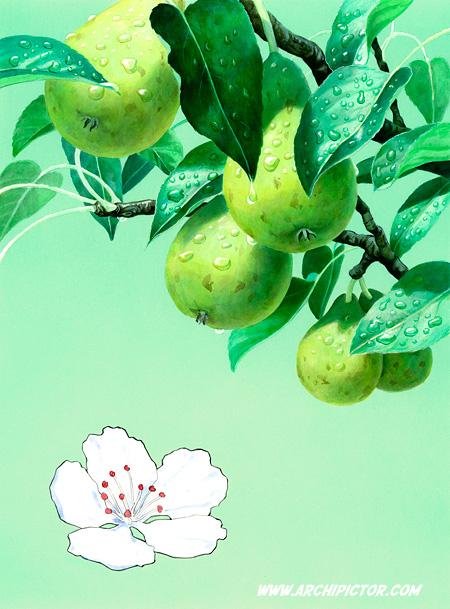 Puutarhan hedelmät - päärynä, kuvittaja / illustrator Ossi Hiekkala 2013