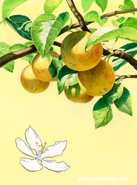 Puutarhan hedelmät - omena, kuvittaja / illustrator Ossi Hiekkala 2013