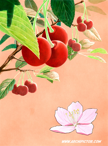 Puutarhan hedelmät - kirsikka, kuvittaja / illustrator Ossi Hiekkala 2013