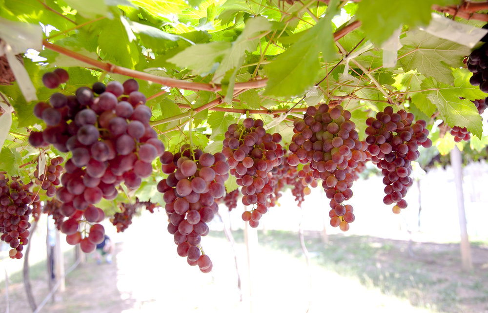 Grape Varieties Swirl Wine Group