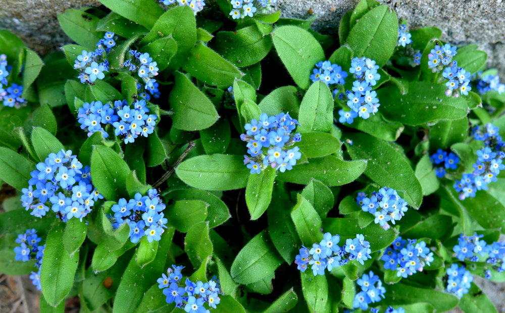 forget me nots.JPG