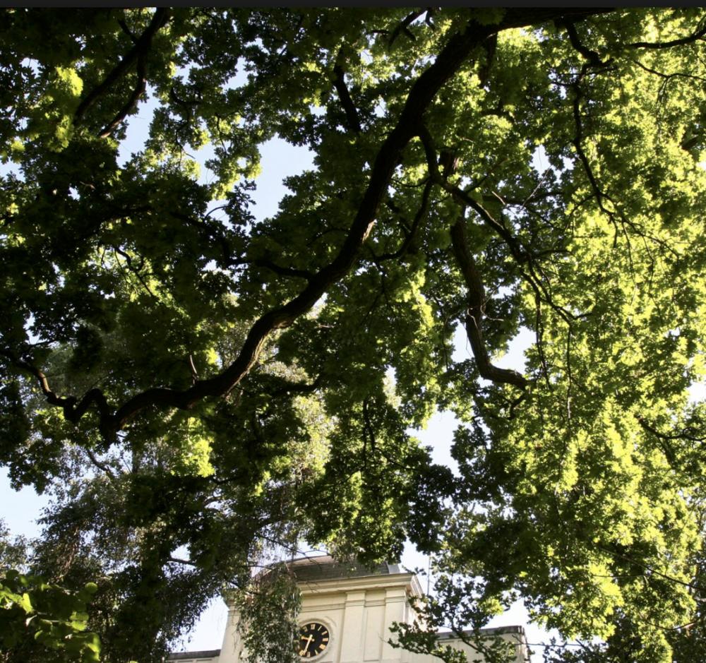 Heimanseik, Quercus robur, in ARTIS. Foto: ARTIS archief