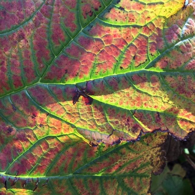Landschap van groot hoefblad in de herfst