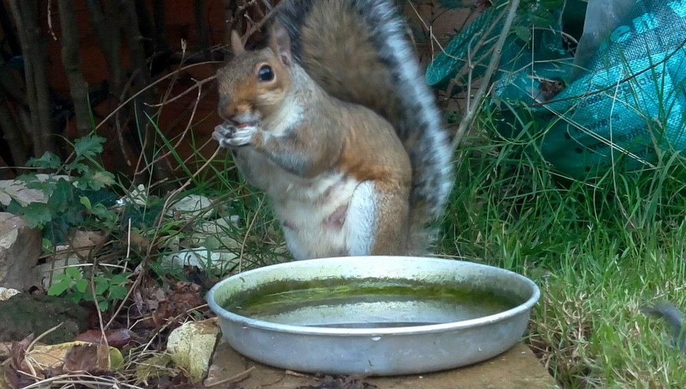 Picture of a Grey Squirrel by Philip Griffiths