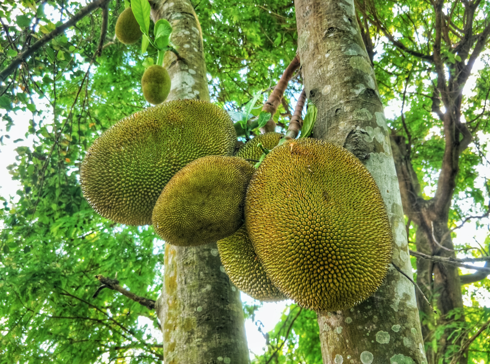 young jackfruits on the tree