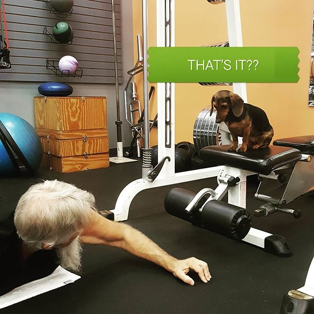Well...Kiwi is at it again! She tends to train our clients from time to time.  #minidachshund #kiwi #dogfriendlygym #fitfam #ignite #gethot
