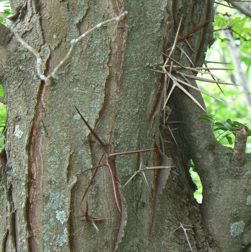 Honey_locust_thorns.jpg