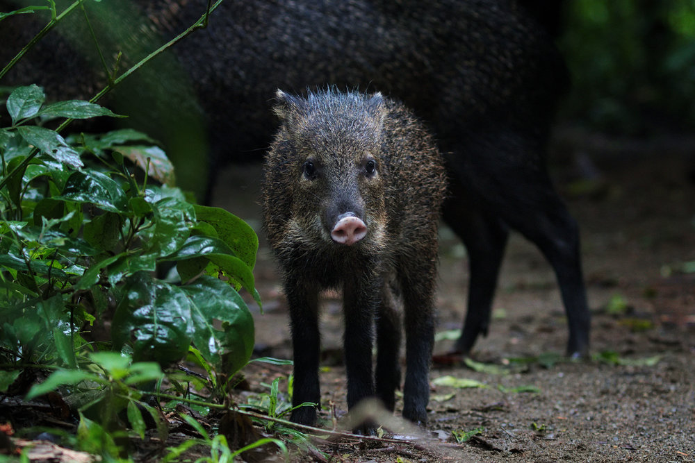 The Collared Peccary - Peccaries (Tayassuidae Suina) are a type of pig that live in the Amazon rainforest. They are critical to the Amazonian ecosystem as they disperse seeds and form the habitats for hundreds of amphibians by rolling in the mud. However, they are at risk of extinction due to deforestation, habitat loss and illegal hunting.