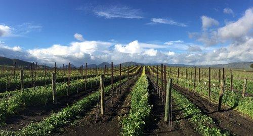 vineyard+landscape.jpg