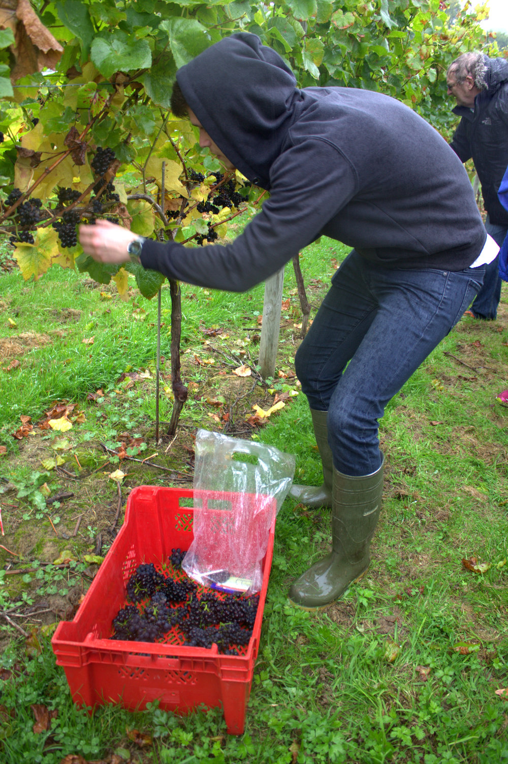 the stagiaire picking grapes at bolney wine estate