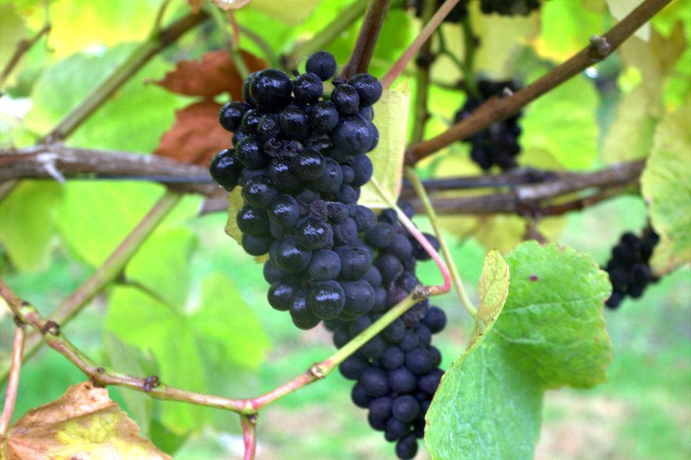 a bunch of pinot noir grapes