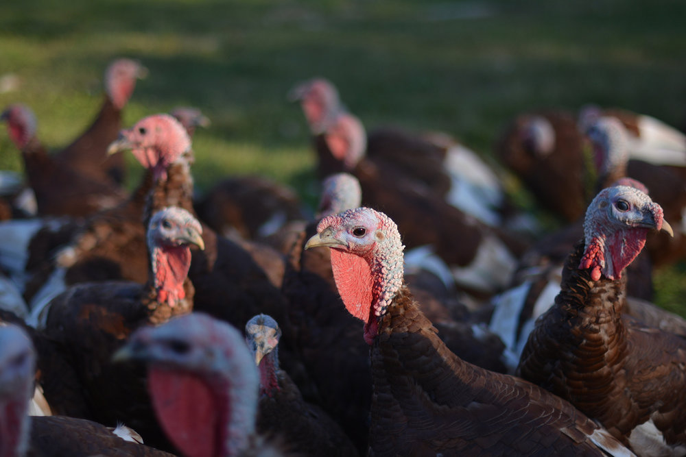 Profile of one of our Bourbon Red turkeys. Photo Courtesy of  Go North Fork