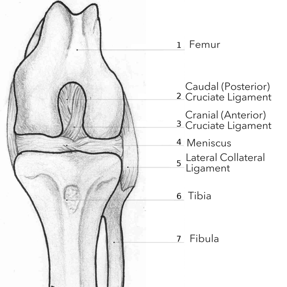 """Stifle Joint - Your dog's Stifle Joint works similarly to a human's knee: the femur (thigh) bone meets the tibia and fibula with 2 ligaments (bands of connective tissue) that stabilize the joint.When there's a partial or full tear of this Cranial Cruciate Ligament, your dog may start limping, have trouble bearing weight on the affected leg, or begin """"toe tapping."""""""