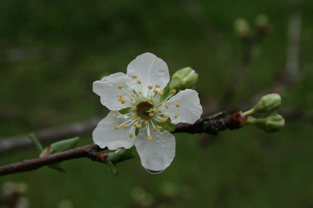 Plum cherry blossom from a tree transplanted two years ago from a friend's yard. This is the first year it has blossomed … and it's loaded.