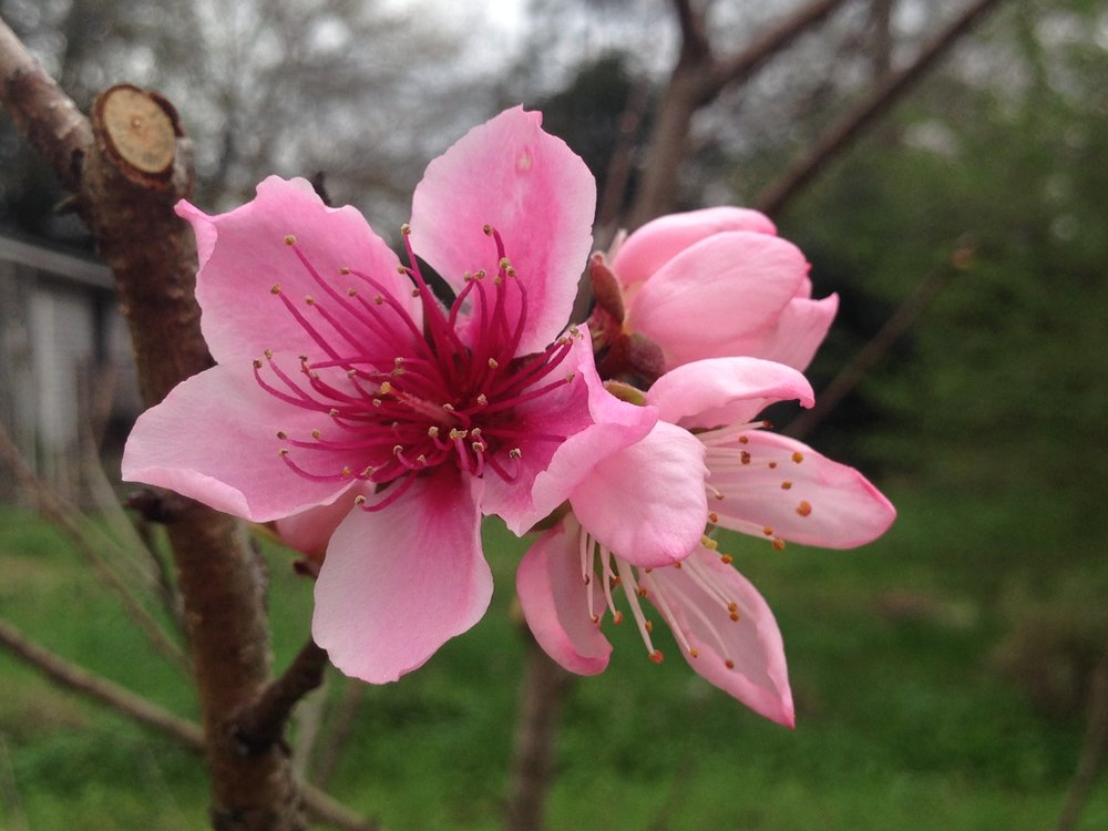 Peach blossoms showing out on a cloudy day.