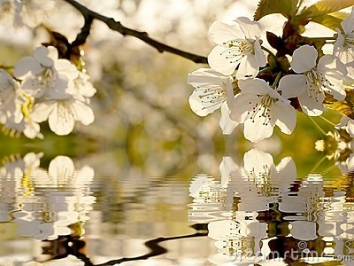 beautiful-white-spring-tree-flowers-9789178