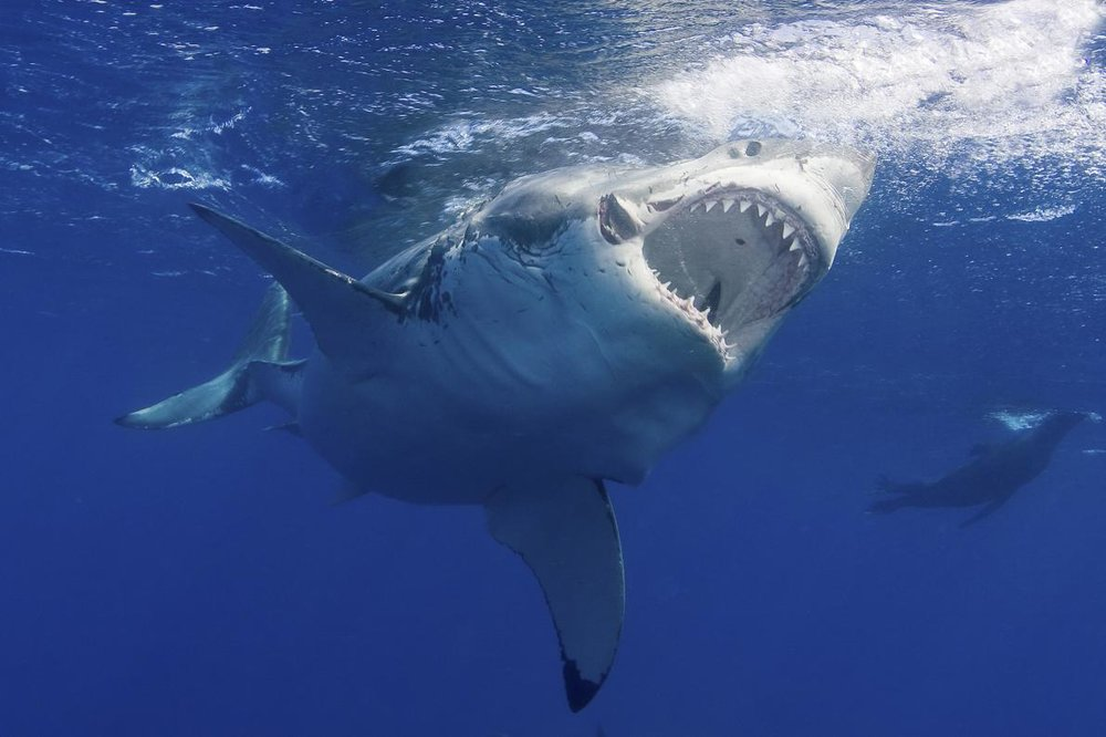 A great white shark. Image by  Jim Abernethy, National Geographic.