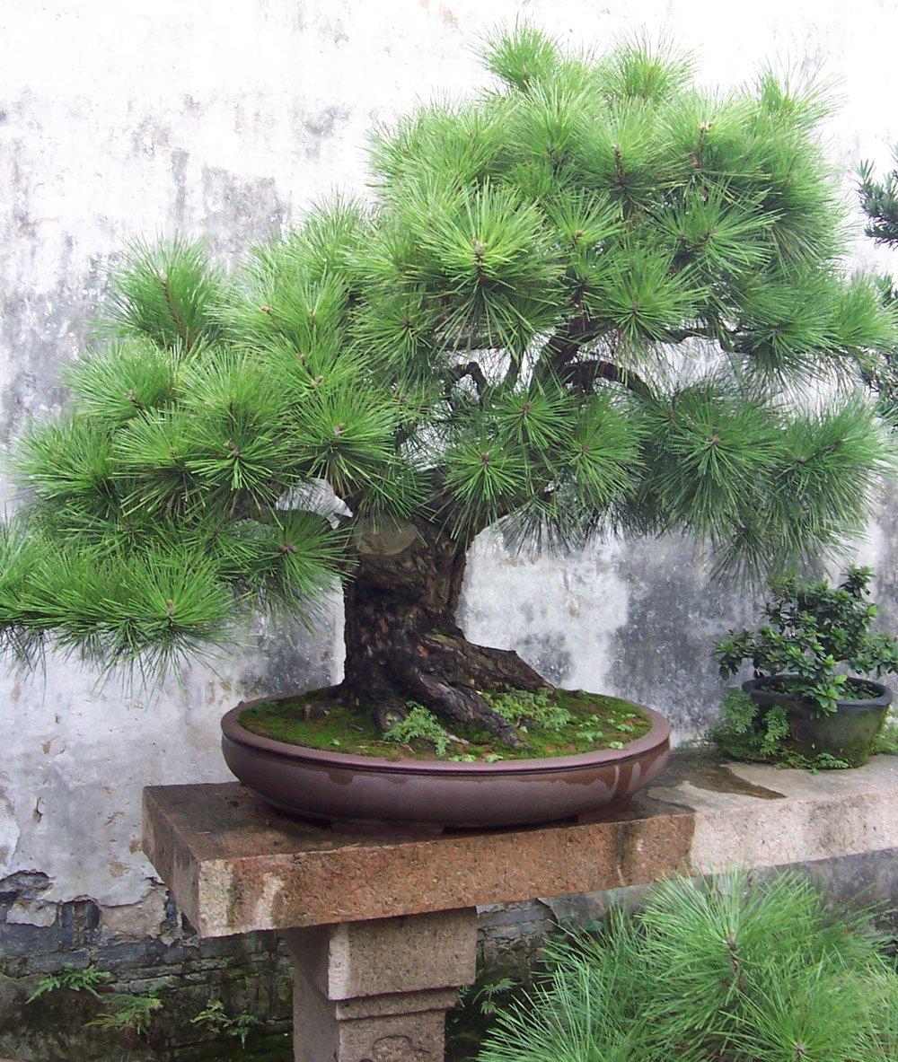 Bonzai tree.JPG