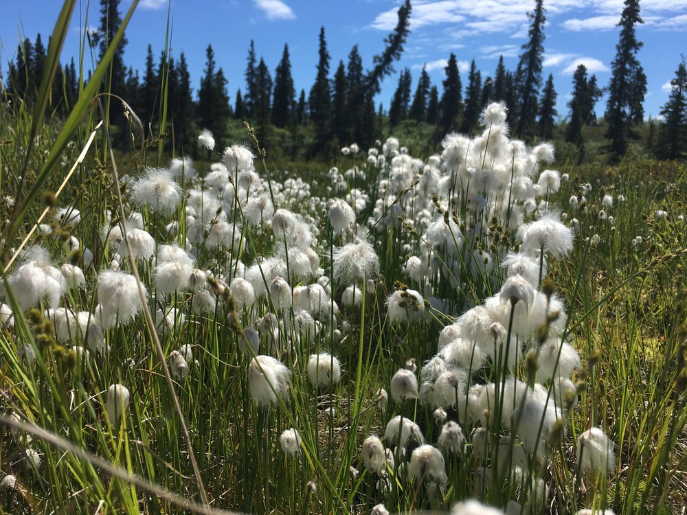 Alaska Cotton, June