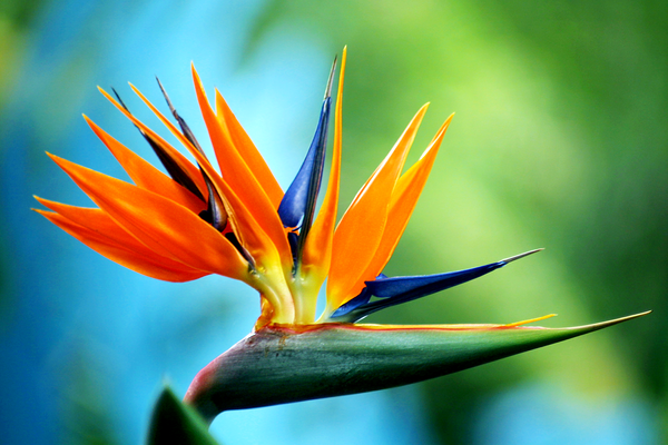 blue_bird_of_paradise.png