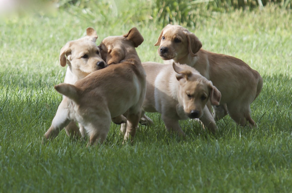 Puppies live at the resort as part of a socialization program.