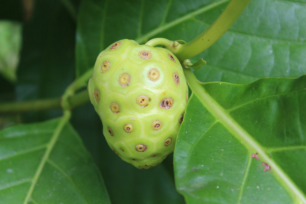 Noni is a superfruit that contains a plethora of vitamins and antioxidants.