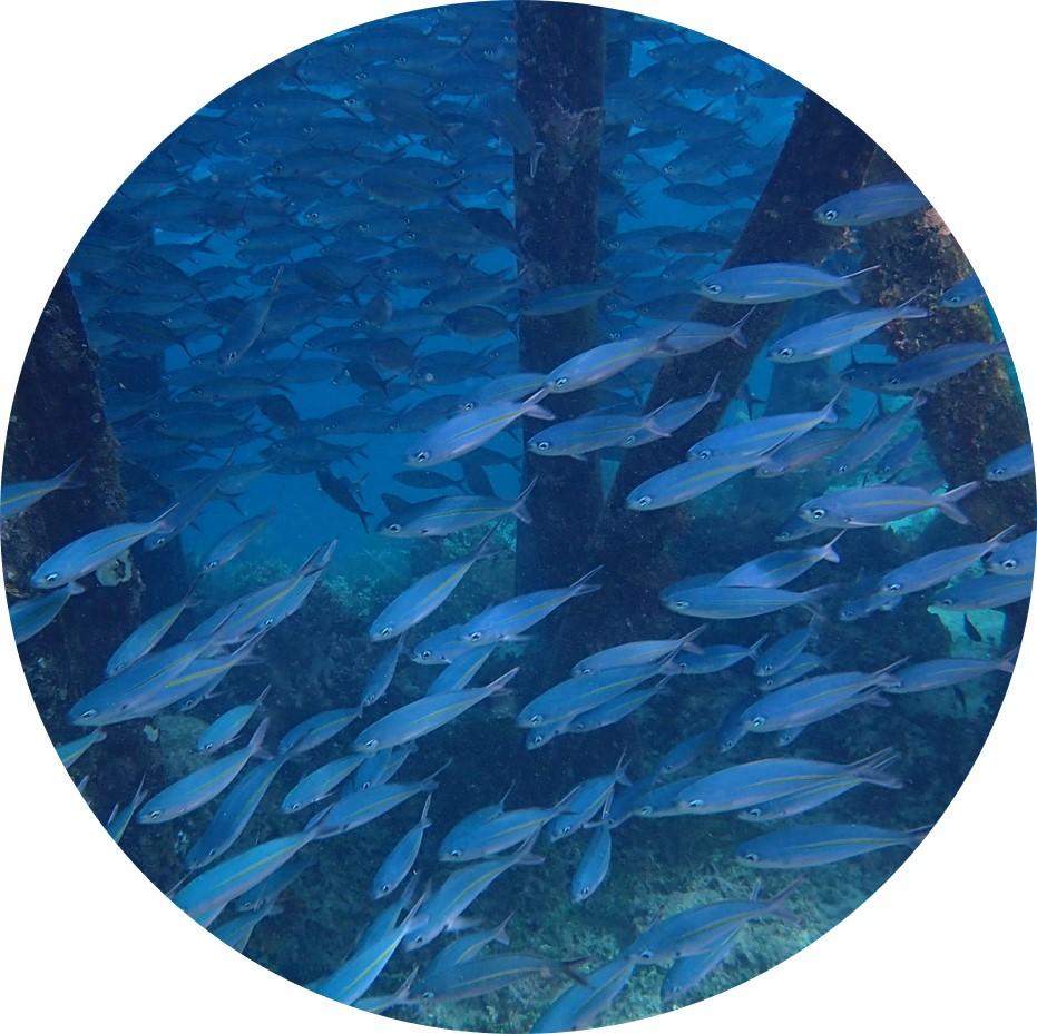 School of silver fish - Raja Ampat Sea Life at the MahaRaja Eco Dive Lodge