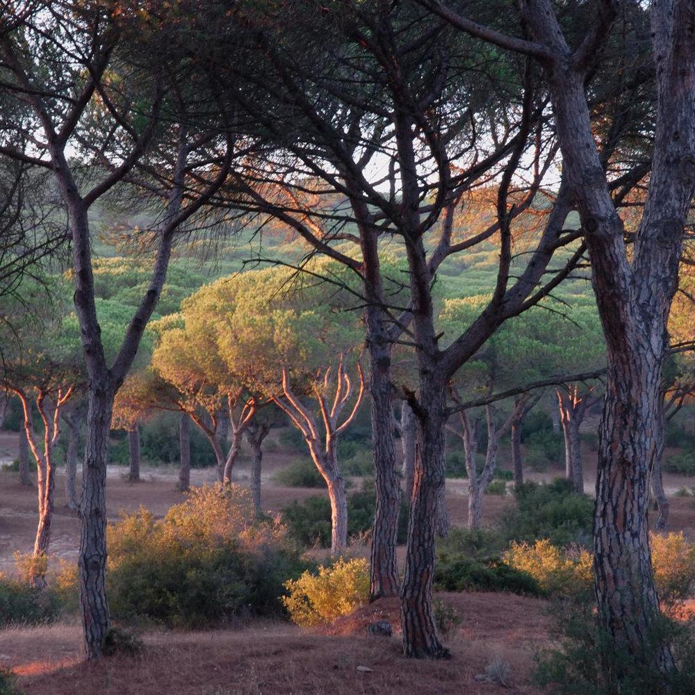 PineForest_02.jpg