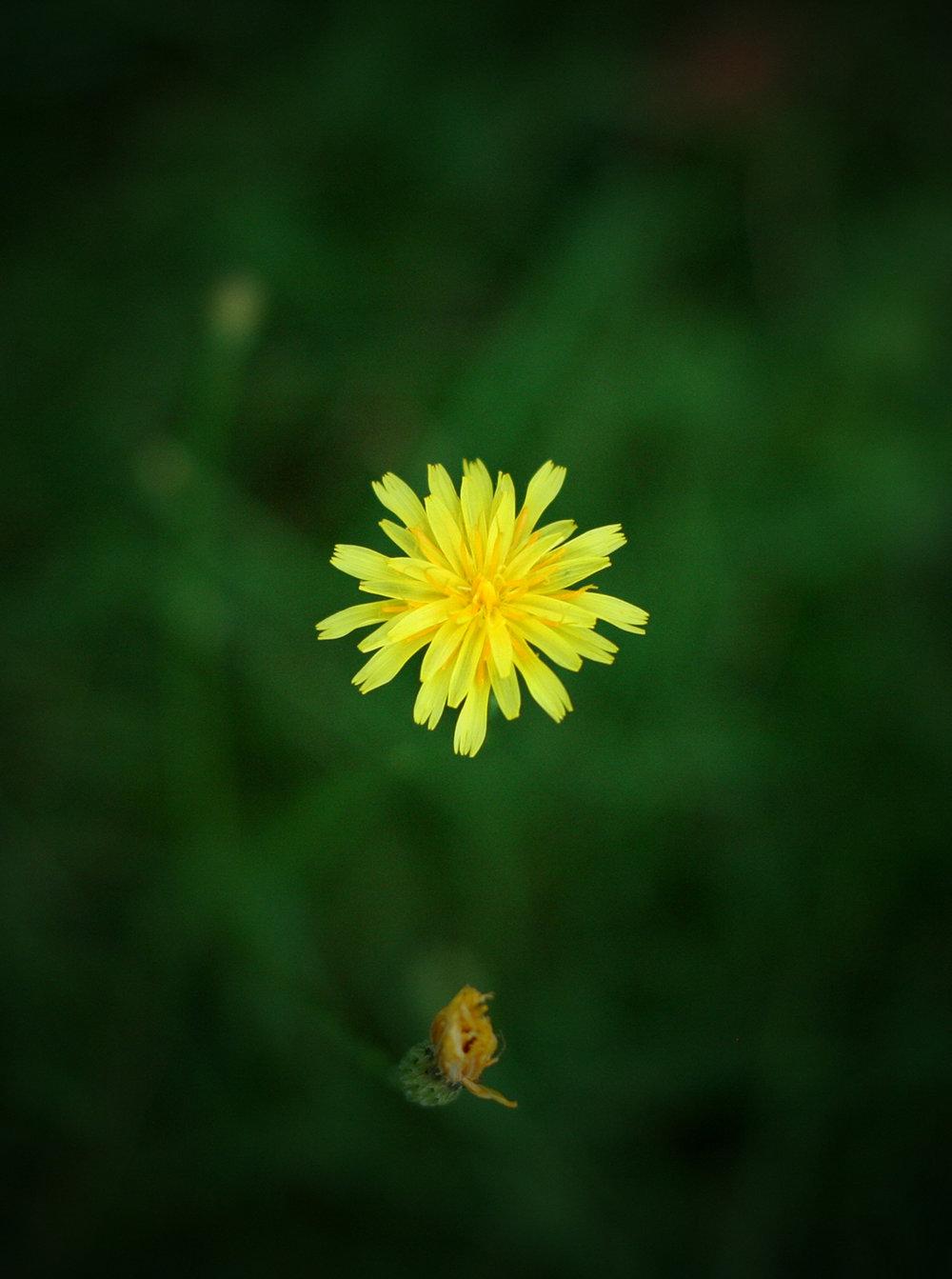 Yellow hawkweed