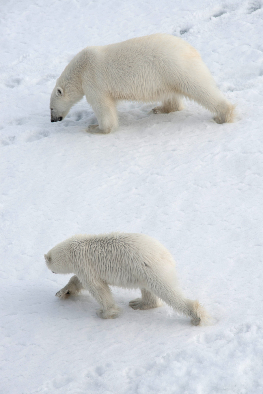 The beautiful polar bears exploring