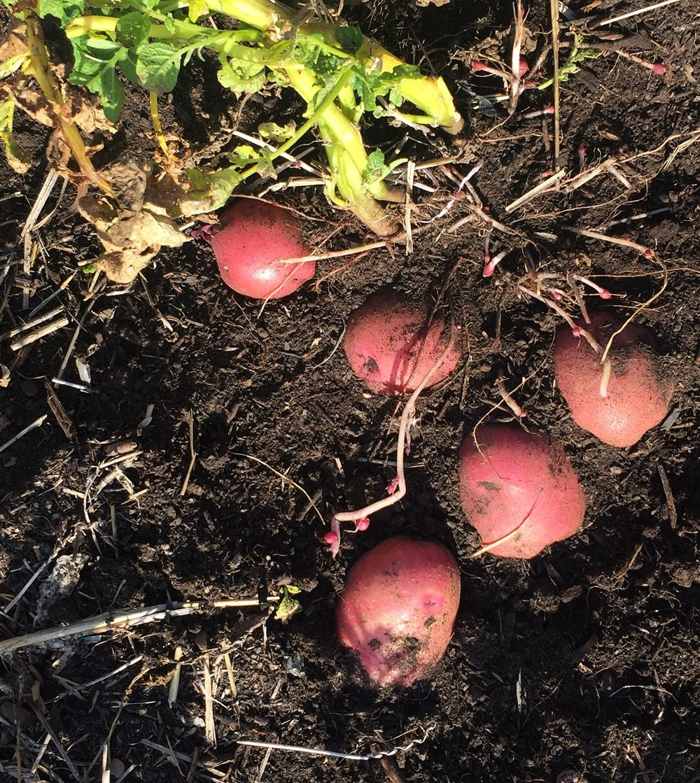 potato plant + filter.JPG