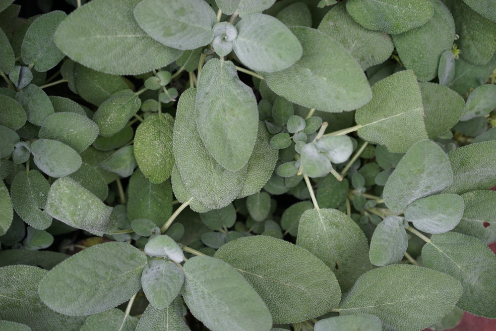 Berggarten Sage - Larger oval leaves are beautiful in a landscape with a taste that many prefer to ordinary Culinary Sage. Plants rarely bloom but should be pruned regularly (except during late fall).