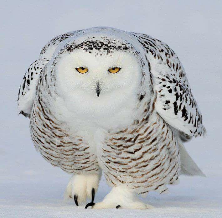 White Snowy Owl.jpg