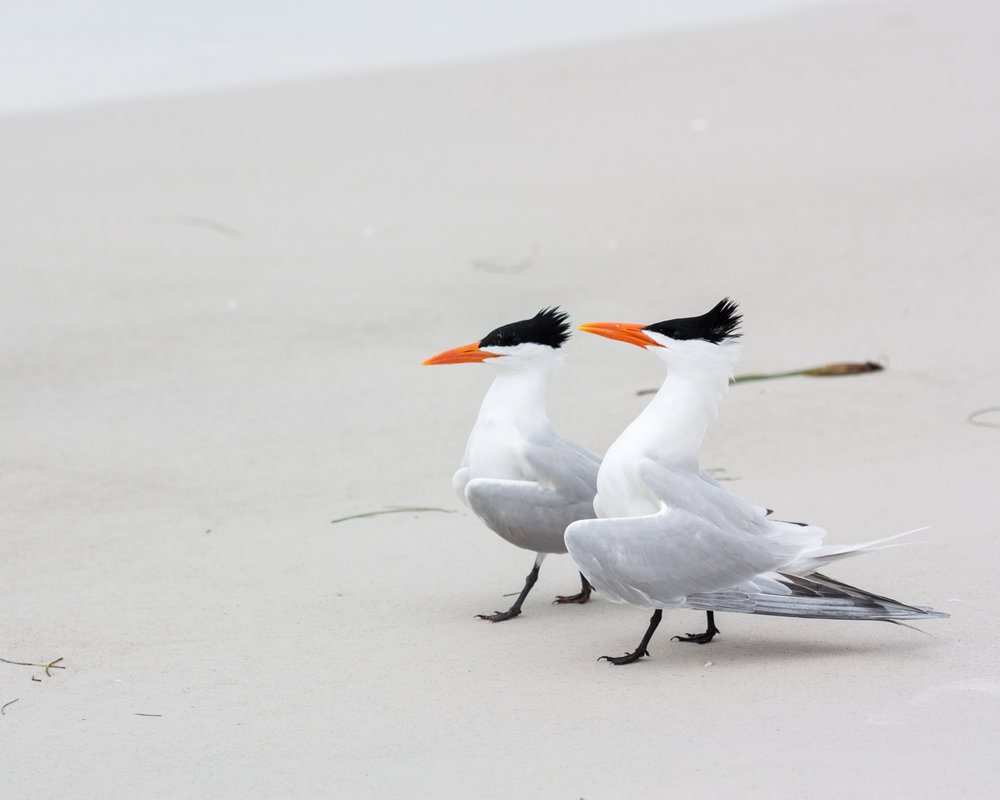 The bright orange of these two seagulls beaks draws your eye directly to them