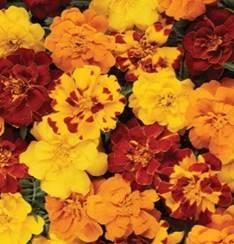 marigold-durango outback.jpg