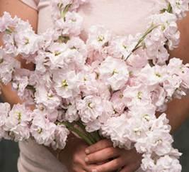 stock-katz cherry blossom.jpg