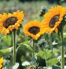sunflower-soraya.jpg