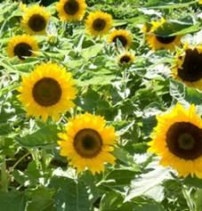 sunflower-big smile.jpg