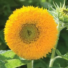 sunflower-teddy bear.jpg