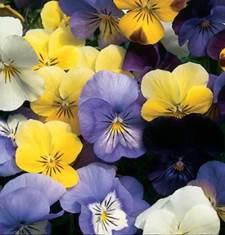 viola-sorbet mix.jpg
