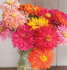 zinnia-cactus flower mix.jpg