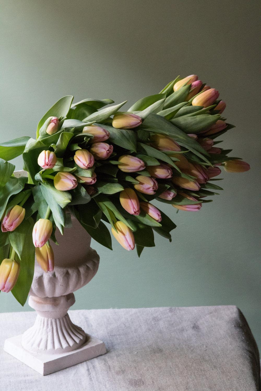 Tulip wonder