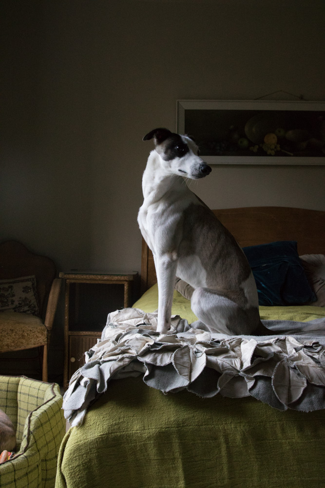 Lemmy, the Whippet doing his best pose