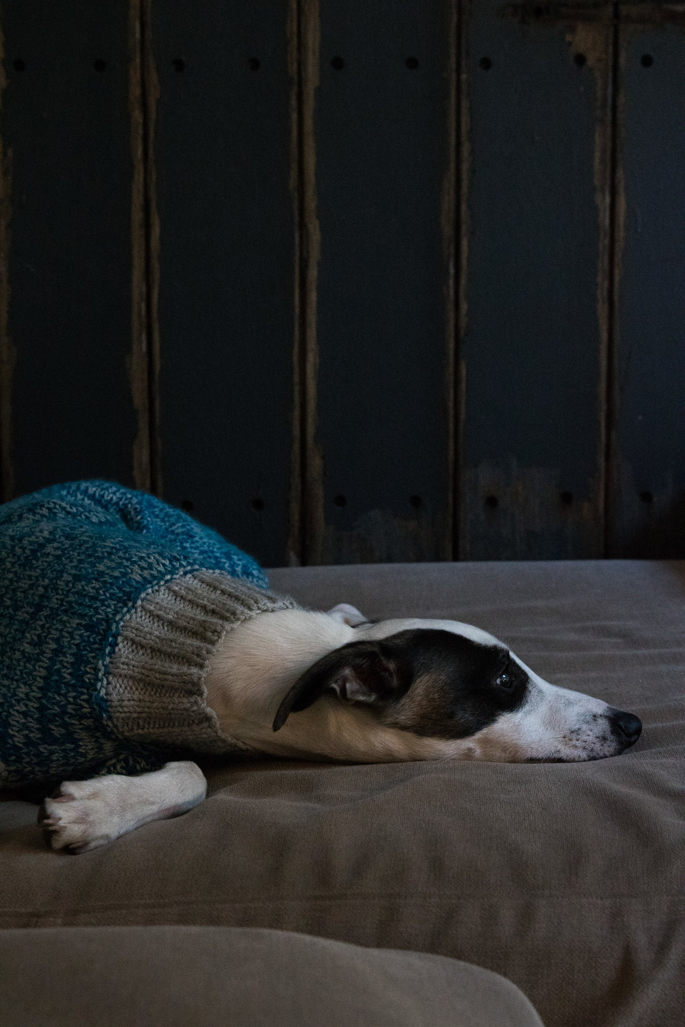 Lemmy the Whippet, looking unimpressed by his new jumper
