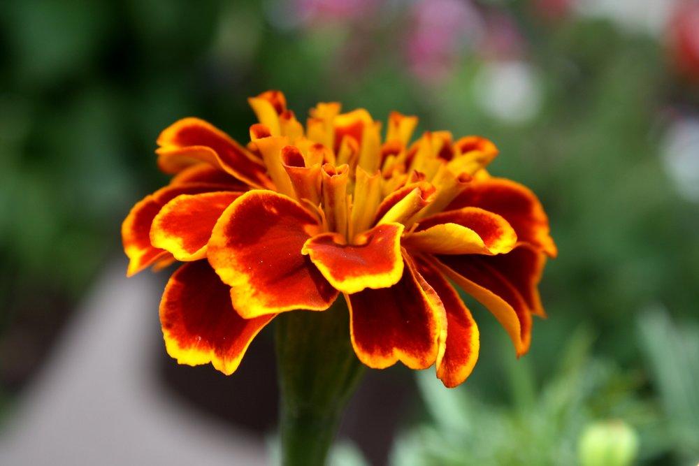 marigold-flower-close-up.jpg